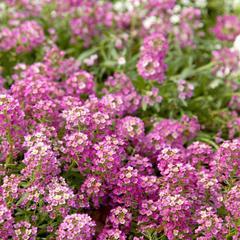 Семена цветов Алиссум Эстер Боннет Дип Пинк, PanAmerican Seed, 50 шт.