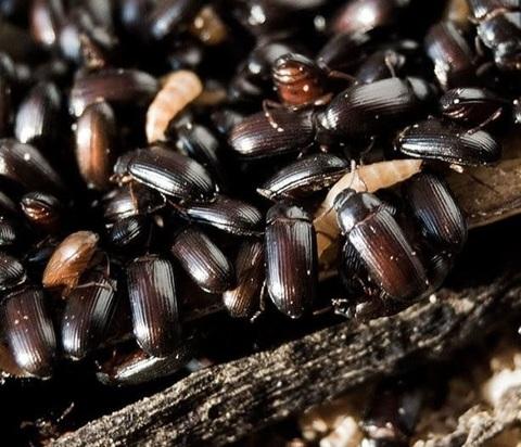 Неиссякаемый источник белкового корма - Личинка жука Знахаря