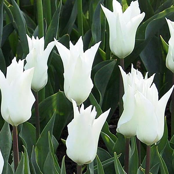 Тюльпан Лилиецветный ТресШик
