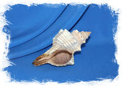 Плеуроплока трапезиум (Pleuroploca trapezium)