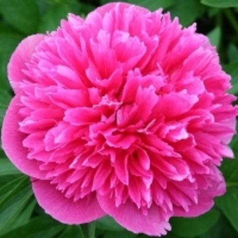 Пион лекарственный Розеа Плена С5