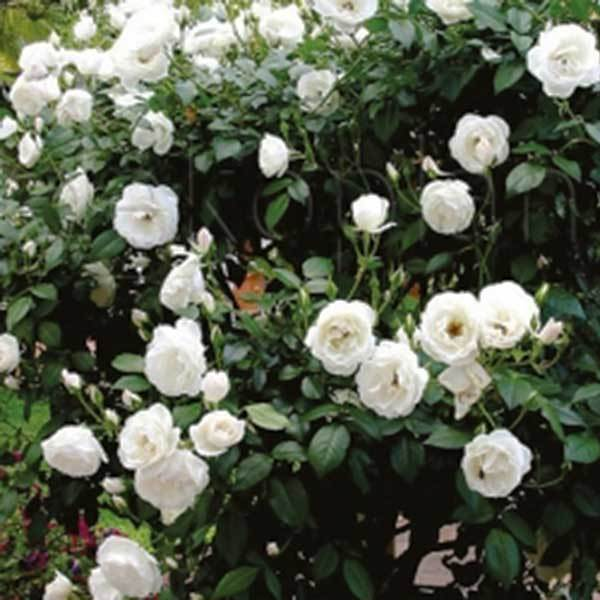 Роза миниатюрная Вайт Морсдаг Северный огород