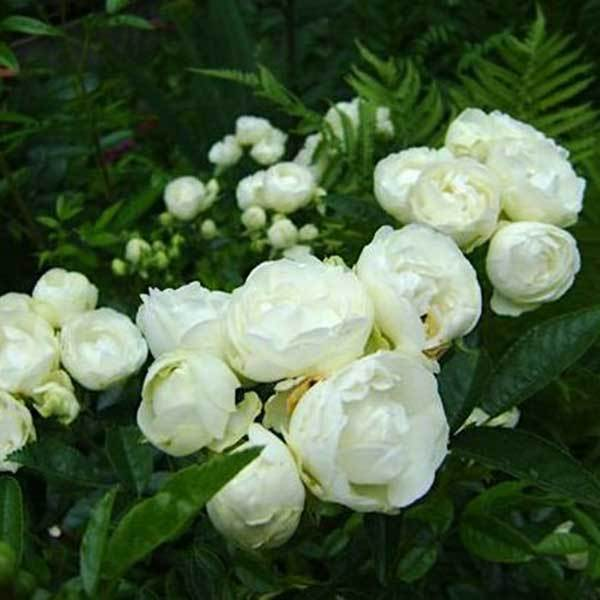 Роза миниатюрная Вайт Морсдаг СевОгород