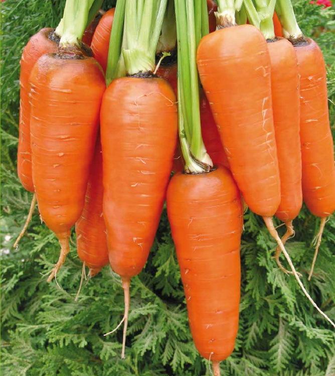 Seminis Абако F1 семена моркови курода/шантане (Seminis / Семинис) абако2.JPG