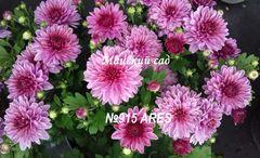 Хризантема мультифлора (шаровидная) Ares №915