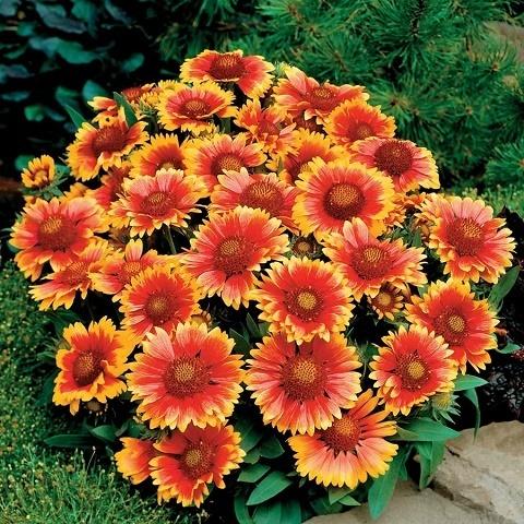Гайлардия остистая крупноцветковая Arizona (sun)