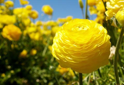 Ранункулюс желтый (5 луковиц)