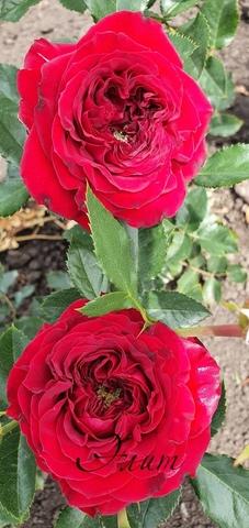 Майра Ред (Mayra's Red)