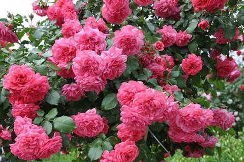 Роза плетистая Розариум Ютерсон в коробке