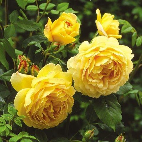 Роза английская душистая Голден Селебрейшн С6