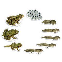 Набор магнитов Жизненный цикл лягушки Learning Resources