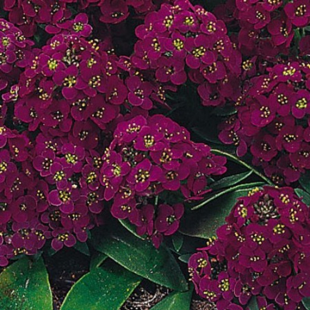 Семена цветов Семена цветов Алиссум Эстер Боннет Виолет, PanAmerican Seed, 50 шт. Алиссум_Эстер_Боннет_Виолет..1.jpg