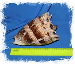 Cymbiola imperialis размер