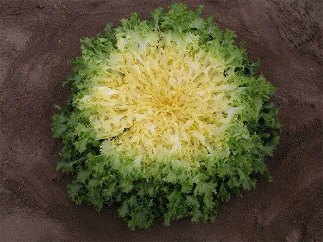Эндивий Бекеле семена эндивия (Enza Zaden / Энза Заден) Бекеле_семена_овощей_оптом.jpeg
