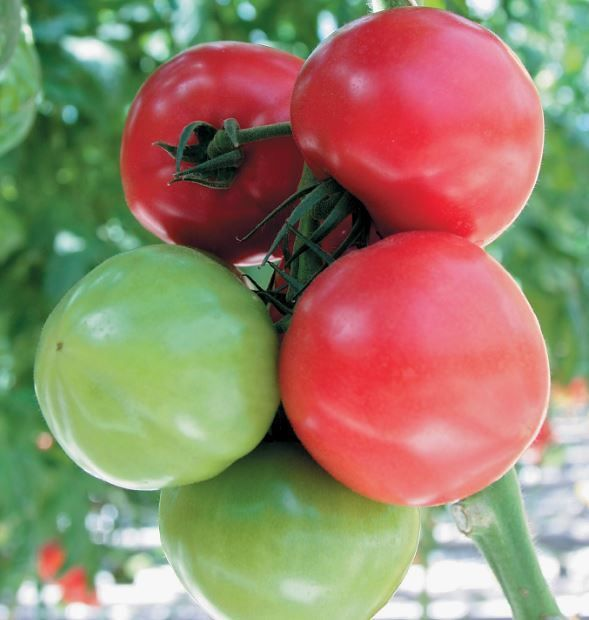Гавриш Самба F1 семена томата индетерминантного (Гавриш) Самба_3_семена_овощей_оптом.JPG