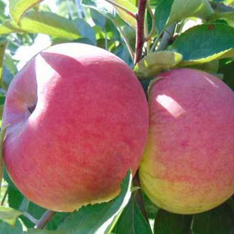 Яблоня (подвой семенной) Орловим