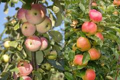 Яблоня колонновидная Васюган С7,5