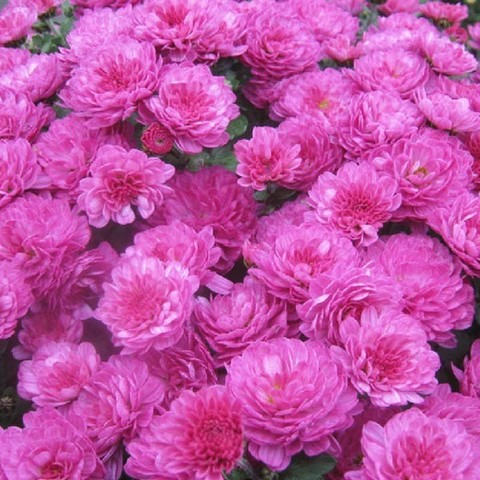 Хризантема мультифлора  Gigi Dark Pink №2047