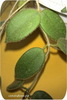 Хойя, Tomsonii dark green leaf