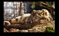 """Постер """"Спокойный леопард"""""""