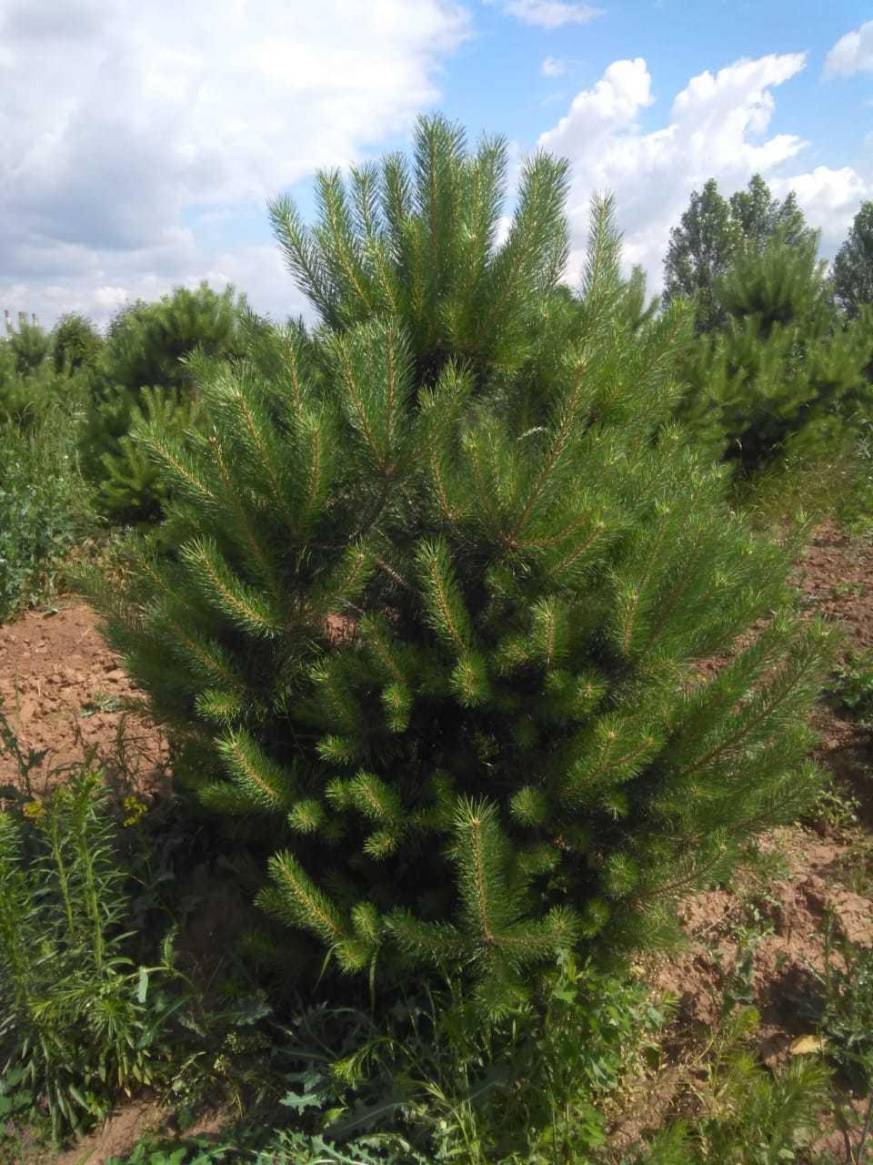 Сосна обыкновенная 120-140 для живой изгороди