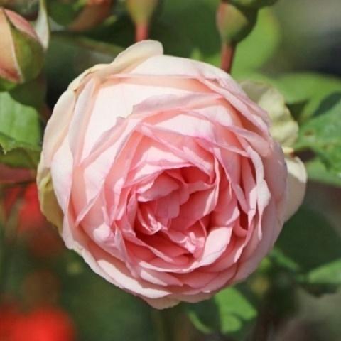 Роза чайно-гибридная Чарминг Пиано, Тантау