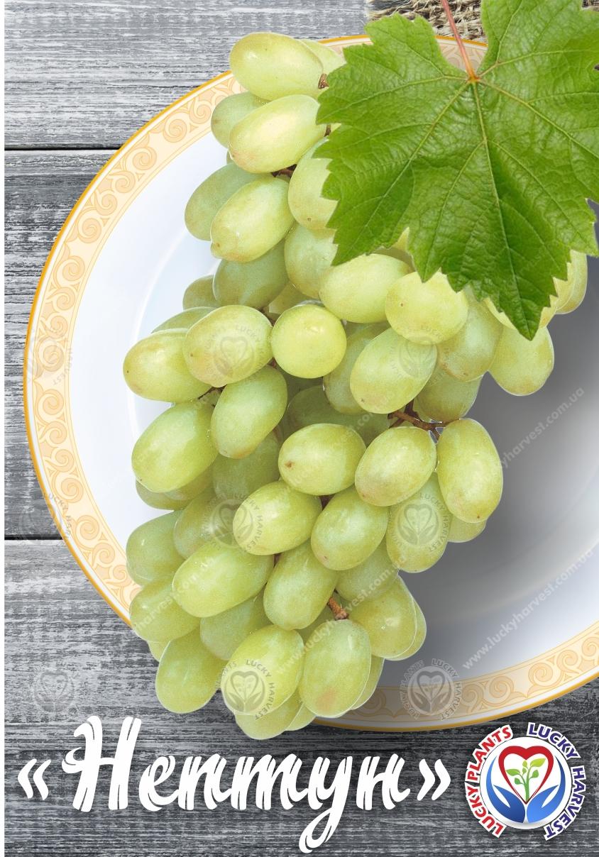 Столовый бессемянный виноград