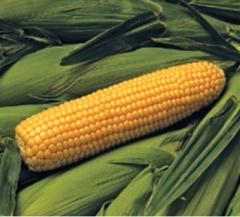 Бонус F1 семена кукурузы (Syngenta / Сингента)