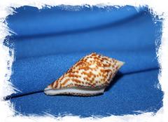 Конус праецелленс (Conus praecellens) 4 см.