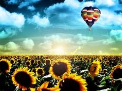 Картина раскраска по номерам 40x50 Воздушный шар над полем подсолнухов