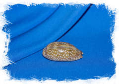 Ракушка Ципрея оленёнок, Cypraea cervinetta