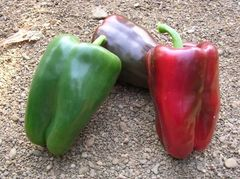 Адиге F1 семена перца сладкого (Sakata / Саката)