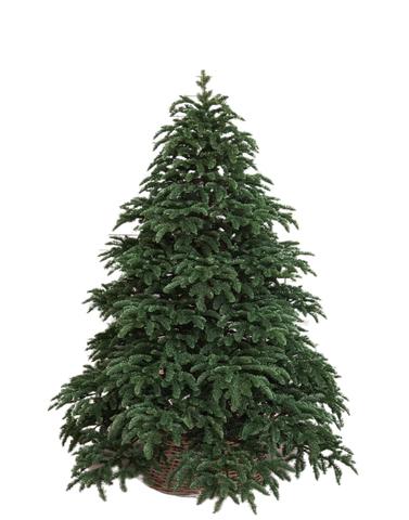 Triumph tree ель Нормандия РЕ 2,60 м темно-зеленая