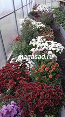 Хризантема мультифлора (шаровидная)