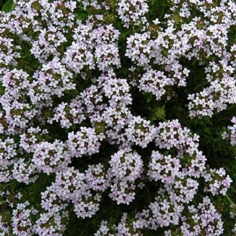 Тимьян обыкновенный Winter thyme