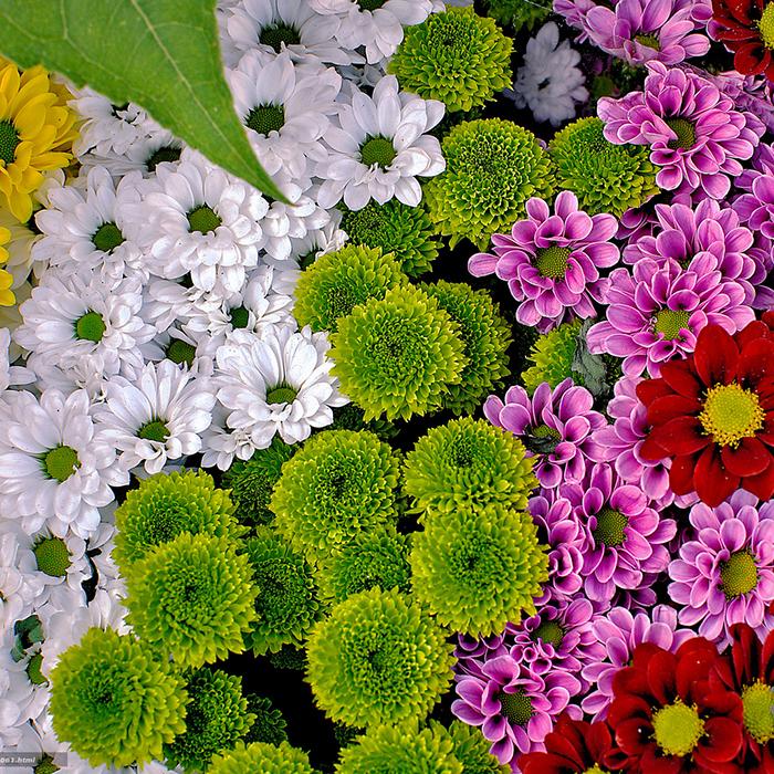 Купить миниатюрные хризантемы в Перми