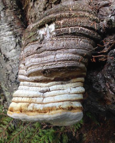 Агарикус гриб