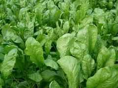 Дукат семена кресс-салата (Гавриш)