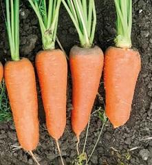 СВ 7381 ДЧ F1 семена моркови курода/шантане (Seminis / Семинис)