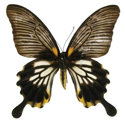 Бабочка Парусник Лови