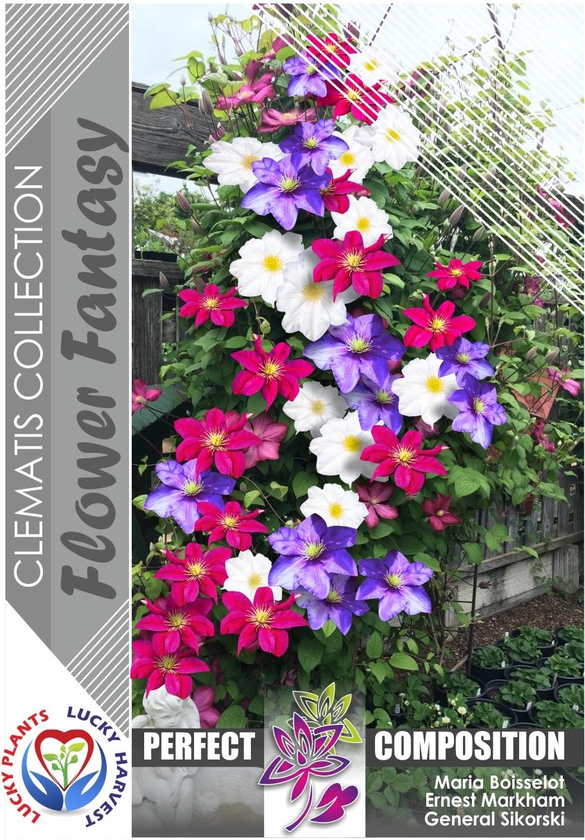 Клематис набор из 3-х  сортов ' Flower Fantasy' (Флауєр Фентези) ТМ LUCKY HARVEST