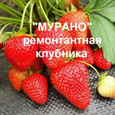 МУРАНО - КЛУБНИКА РЕМОНТАНТНАЯ