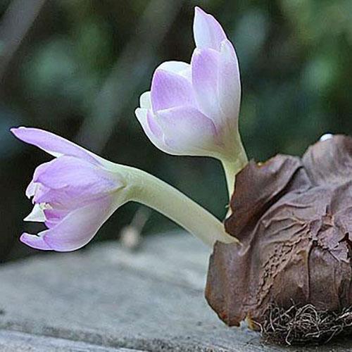 Травы Безвременник осенний (Колхикум) colchicum-98.jpg