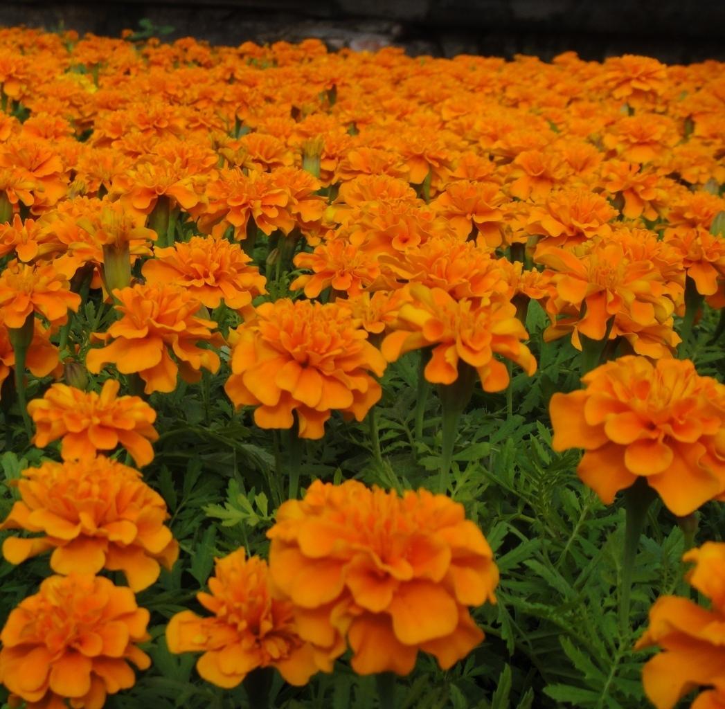 Семена цветов Семена цветов Бархатцы отклоненные Супер Хироу Хармони, Benary, 15 шт. image_259.jpg