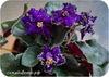 Фиалка Ален-Нічна Троянда (А.Вольская)