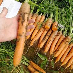 Небула F1 семена моркови нантской (Seminis / Семинис)
