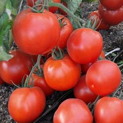 Рэмбо F1 семена томата детерминантного (Гавриш)