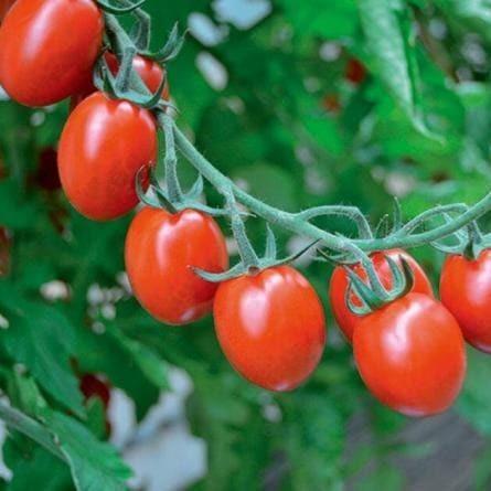 Clause Тутти Фрутти F1 семена томата индетерминантного (Clause / Клос) Томат_Тутти_фрутти.jpg