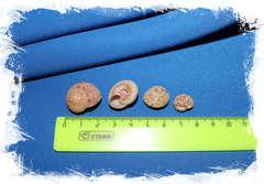 Ракушки пуговицы размер