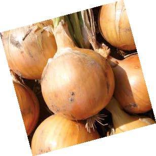 Репчатый Фермо F1 семена лука репчатого (Hazera / Хазера) Фермо_F1.jpg